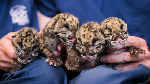 too cute first pictures of rare clouded leopard cubs released